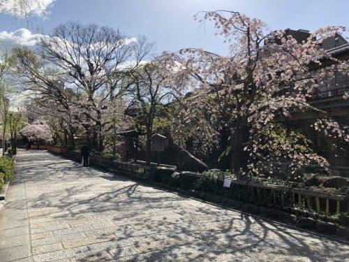 桜が咲き誇る祇園白川南通り