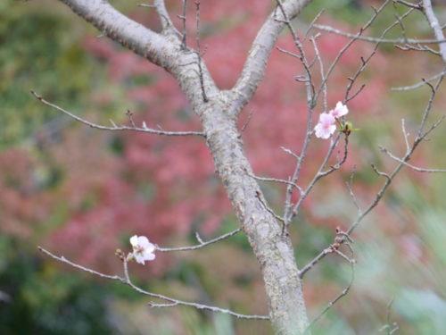 地主神社の桜2020年11月7日秋に撮影