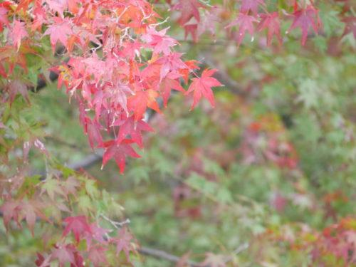 清水寺の赤く染まった紅葉