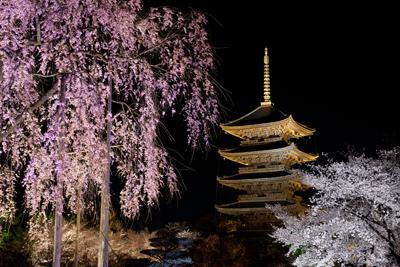 東寺の五重塔前でライトアップされている桜