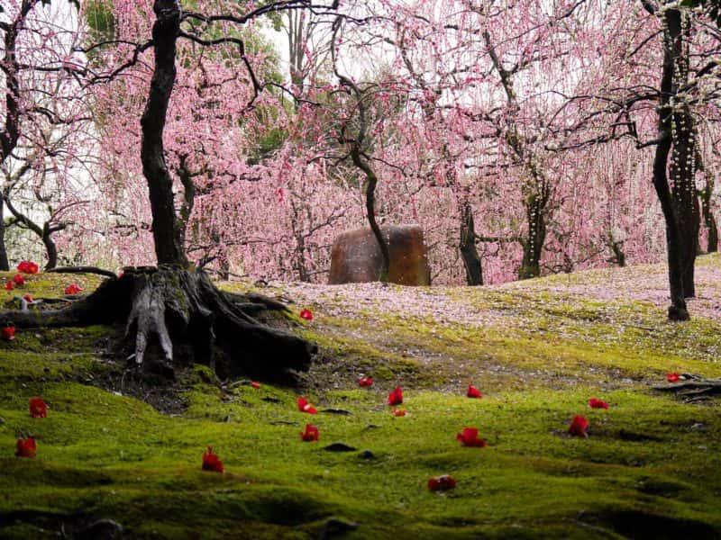 城南宮梅林の満開の梅の花と椿の落花1