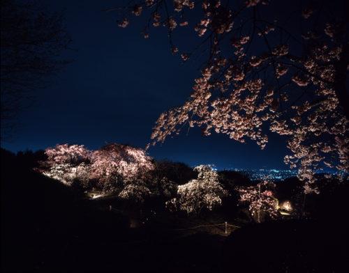 将軍塚青龍殿の桜ライトアップ
