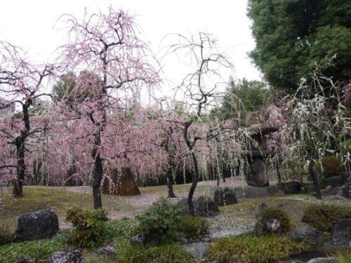 城南宮梅林の満開の梅の花7