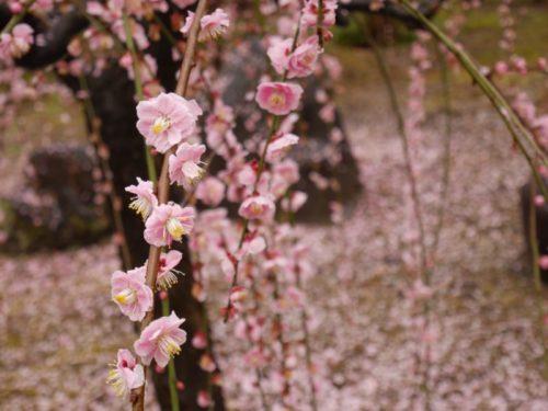 城南宮梅林の満開の梅の花2