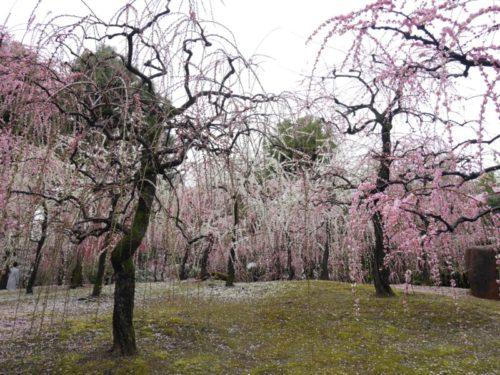 城南宮梅林の満開の梅の花8