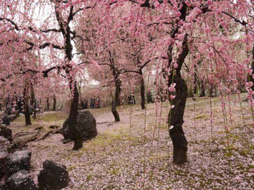 城南宮梅林の満開の梅の花6