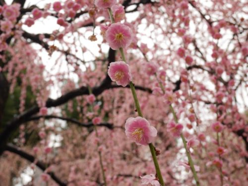 城南宮梅林の満開の梅の花4