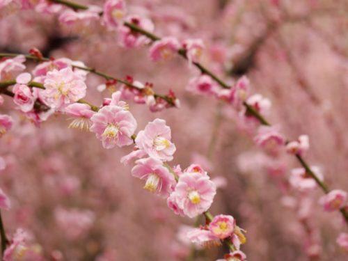 城南宮梅林の満開の梅の花5