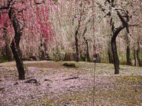城南宮梅林の満開の梅の花10