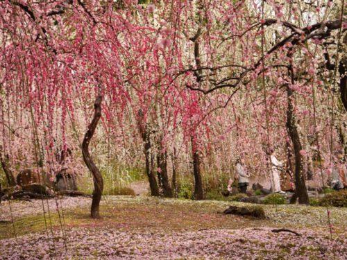城南宮梅林の満開の梅の花9