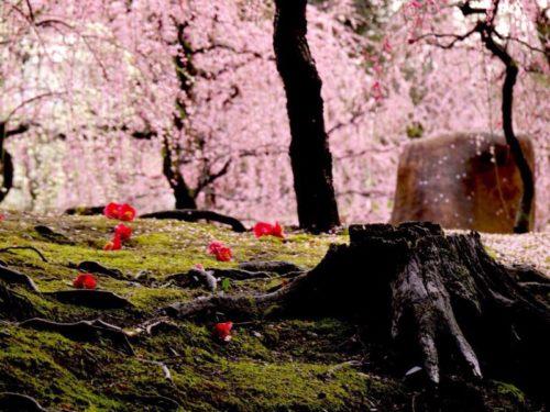 城南宮梅林の満開の梅の花と椿の落花2
