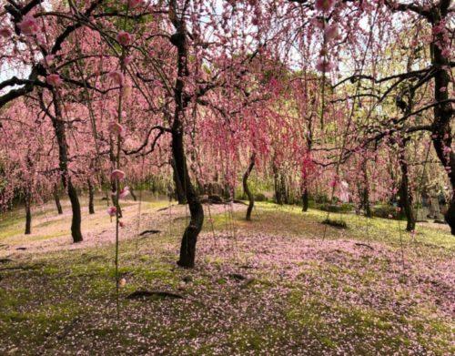 城南宮梅林の満開の梅の花1