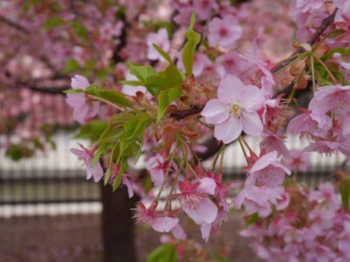淀水路の満開の桜6