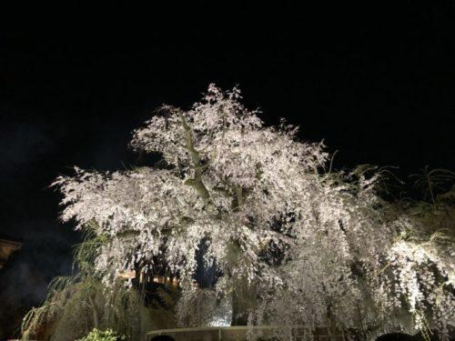 京都旅行来御アップされる円山公園の桜