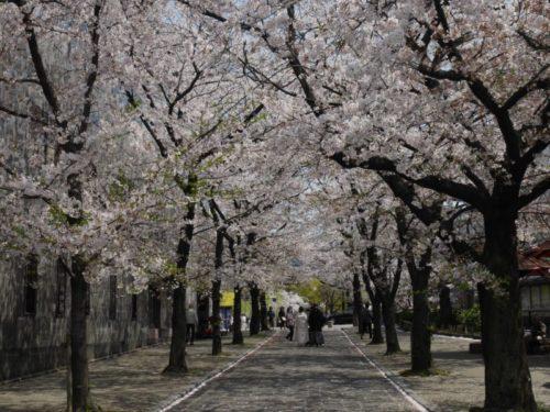 祇園の満開の桜の下で結婚式の前撮りをしている夫婦