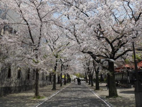 満開の祇園のビルの合間に咲く満開の桜