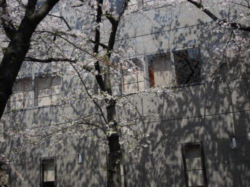 満開の桜の影がビルに移る