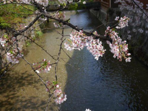 白川を桜の花びらが流れている