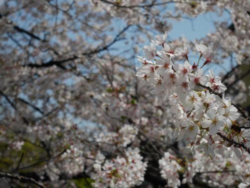 祇園大和橋から見る桜