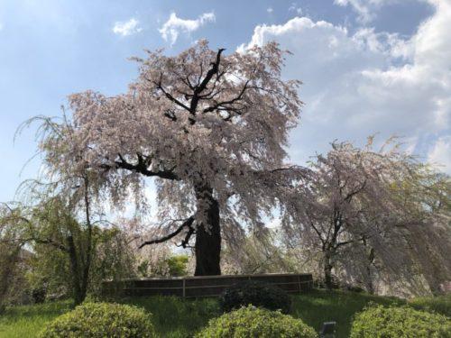円山公園の枝垂れ桜2020