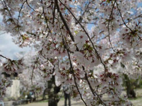 葉っぱがつき始めた円山公園の桜