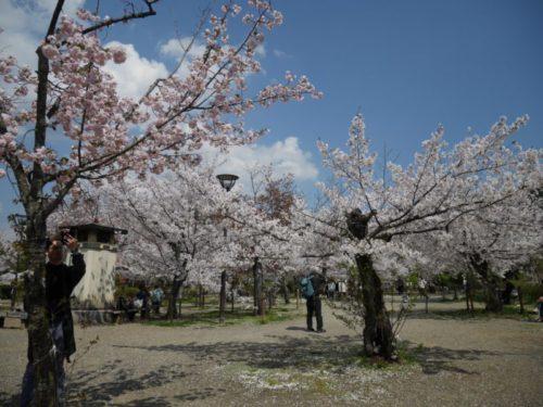 円山公園の敷地の桜