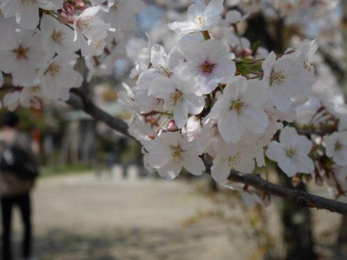 真っ白の桜