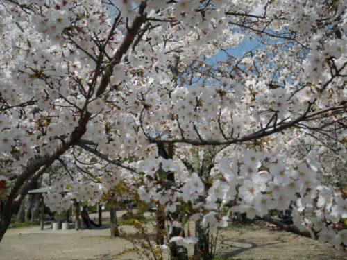 桜が視界を覆います
