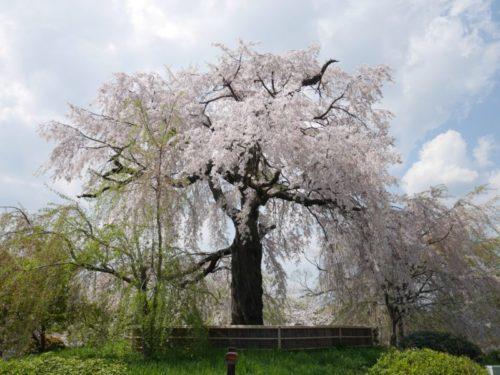 祇園の枝垂れ桜2020