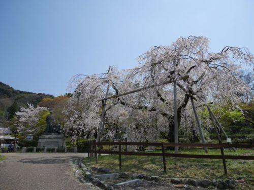 円山公園奥の枝垂れ桜