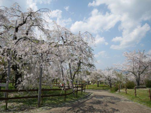 円山公園の奥に咲く桜