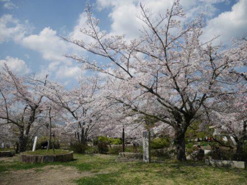 円山公園の奥に咲く満開の桜