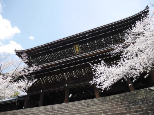 知恩院三門と桜吹雪