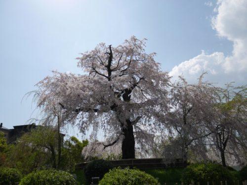 円山公園の満開の枝垂れ桜