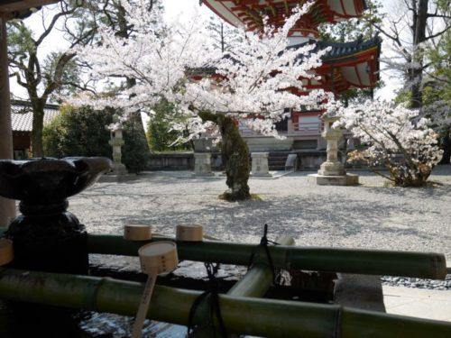 手水場と桜