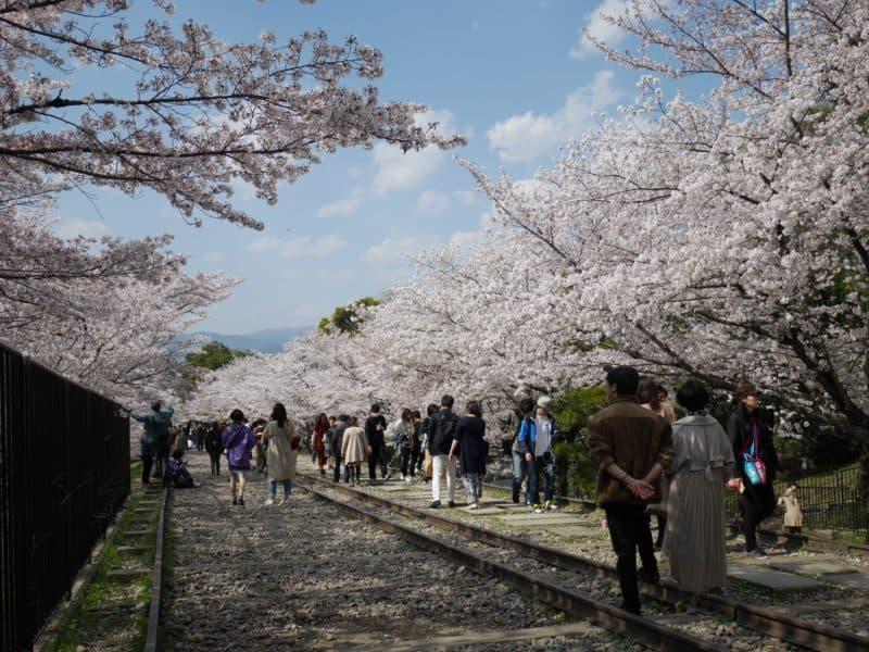 蹴上のインクラインの満開の桜