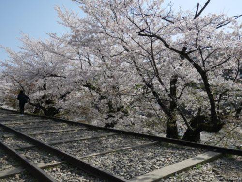 桜吹雪が蹴上のインクラインに吹く