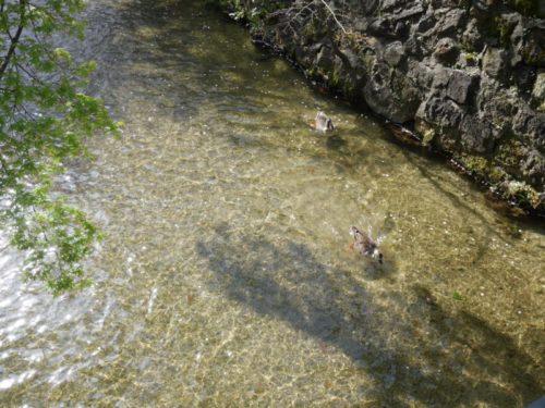 白川を泳ぐカモ