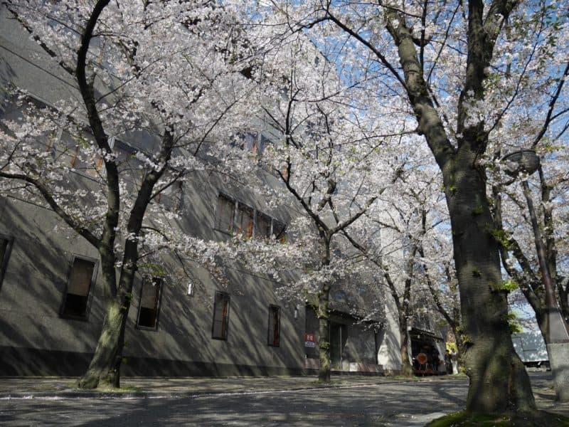 最高の祇園白川の満開の桜
