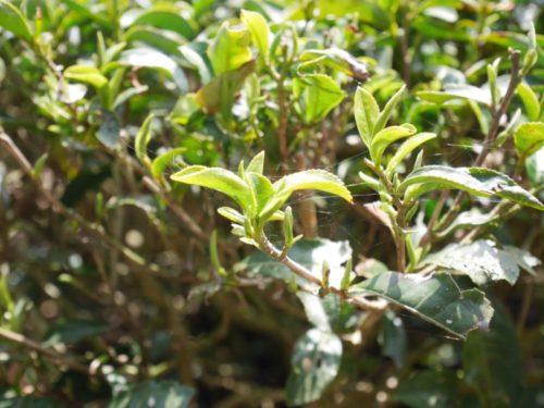 茶の新芽を太陽が照らします