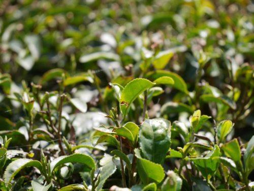 茶の新芽が収穫の時を待っています
