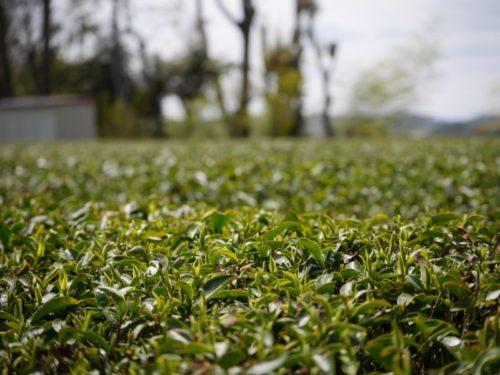 茶の新芽がすくすくと育っている