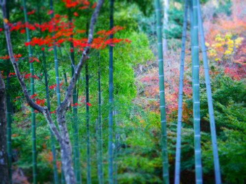 常寂光寺の紅葉と竹林