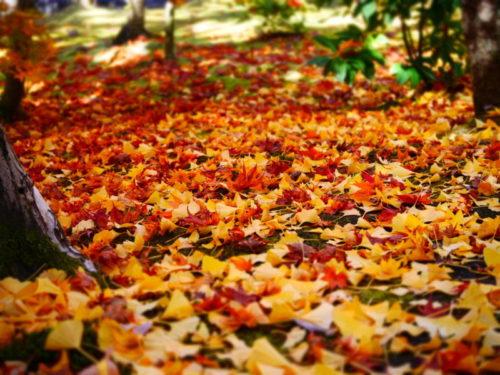 永観堂の紅葉とイチョウの絨毯2020年11月15日