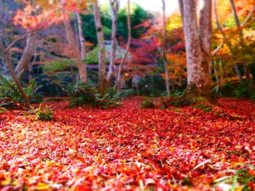 祇王寺の紅葉の絨毯